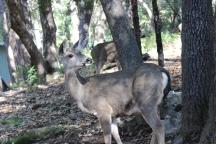 Twain Harte Deer